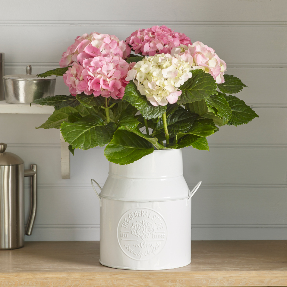 Mothers Day Hydrangea Gift With Chocs