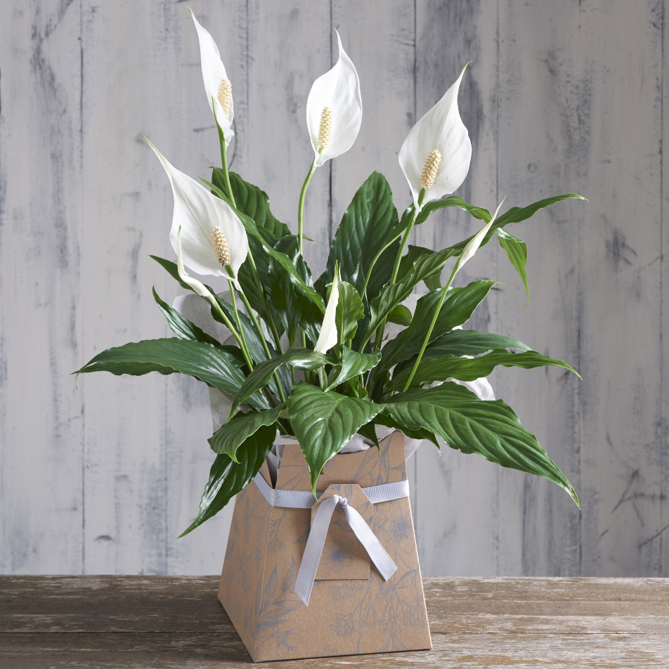 Next Flowers And Gift Cards Delivered Next Day Peace Lily Gift