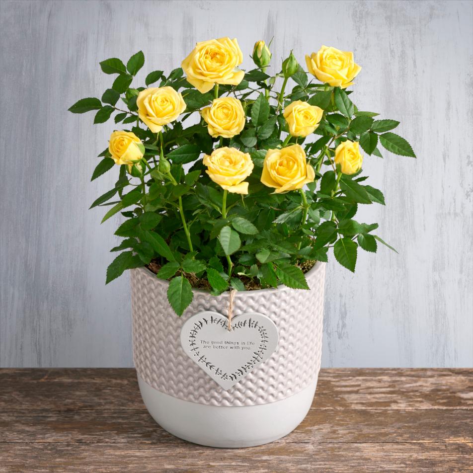 Yellow Friendship Rose