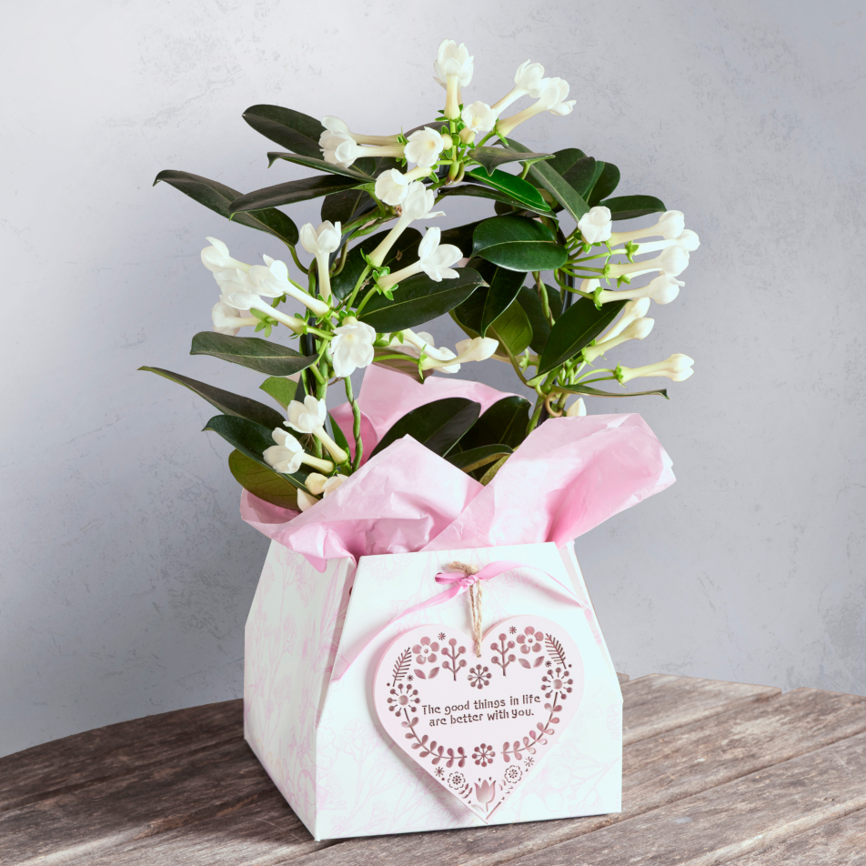 Next flowers and gift cards delivered next day stephanotis gift stephanotis gift with chocs izmirmasajfo
