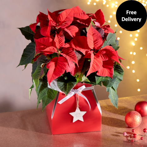 Christmas Plants | Box & Rose Plants For Christmas | Next Flowers